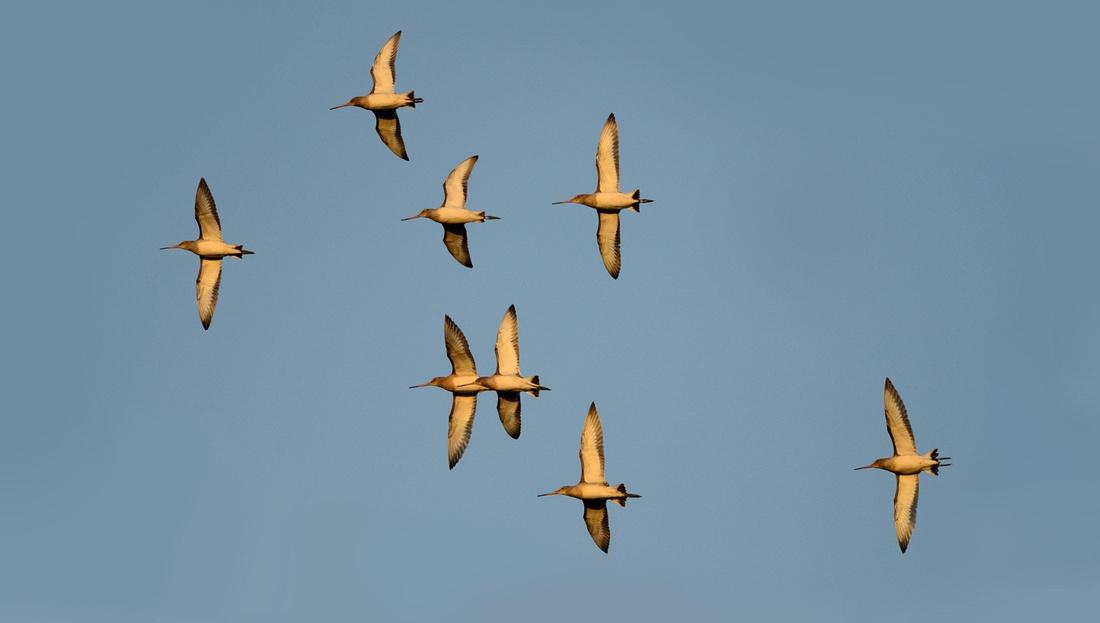 Black-tailed- Godwit (Limosa limosa) Greylake RSPB,Somerset.