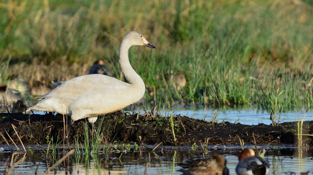 Bewick's Swan (Cygnus columbianus bewickii) Greylake RSPB,Somerset.