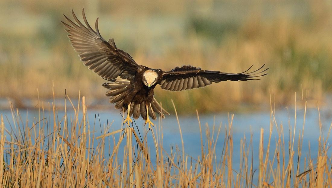 Marsh Harrier (Circus aeruginosus) Greylake RSPB Somerset.