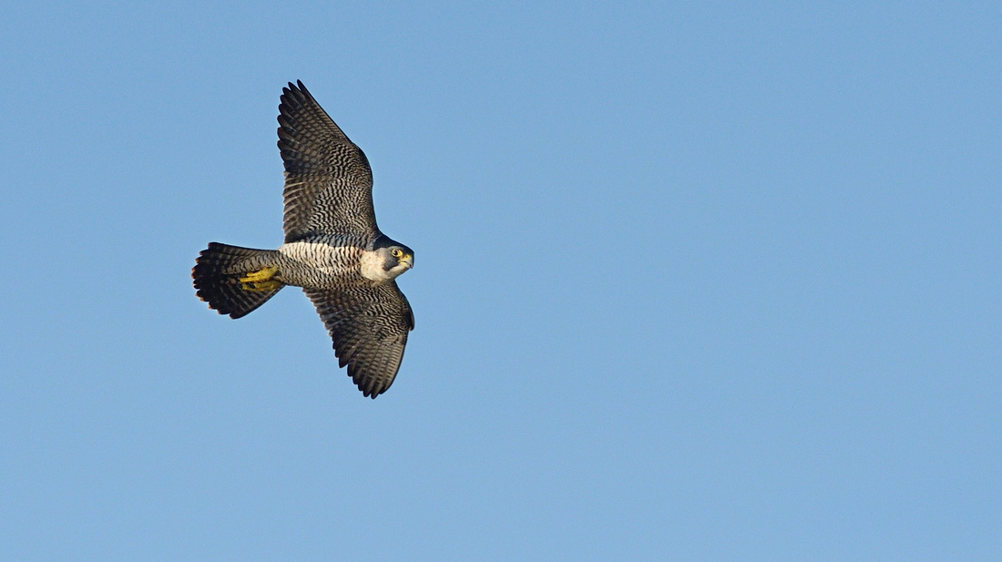 Peregrine (Falco peregrinus) Greylake RSPB.