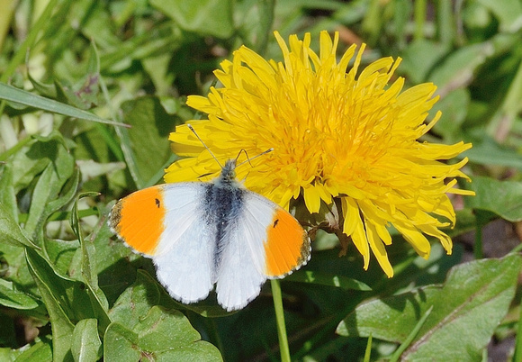 Orange Tip.(Anthocharis cardamines)