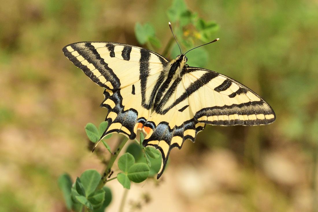 Southern Swallowtail (Papilio alexanor)  Alpes-de-Haute-Provence,France.