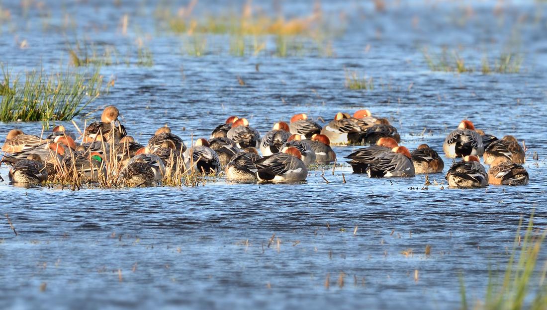 Ducks at Greylake. RSPB,Somerset.