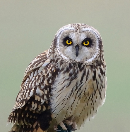 Short-eared Owl. (Asio flammeus)